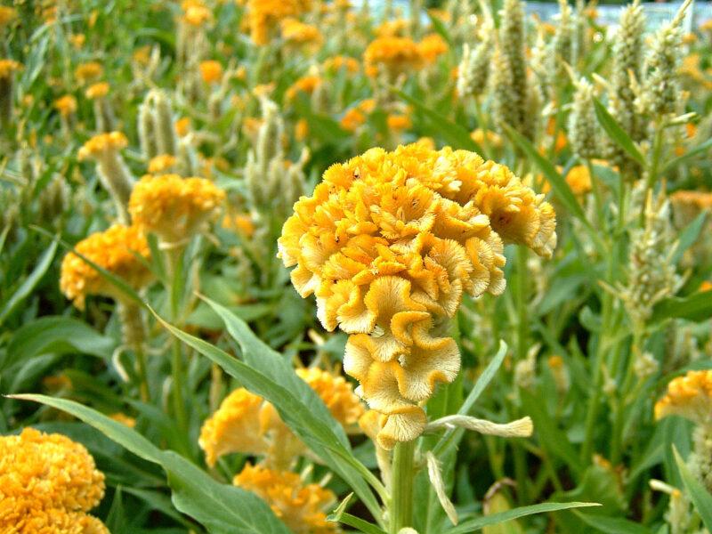 Hình ảnh cánh đồng hoa mào gà vàng đẹp