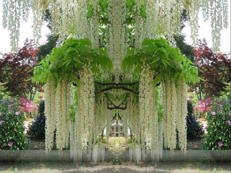 Hình ảnh cây hoa tử đằng trắng cực đẹp