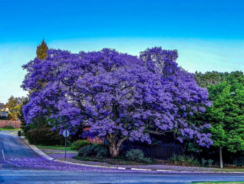 hình ảnh cây phượng đà lạt