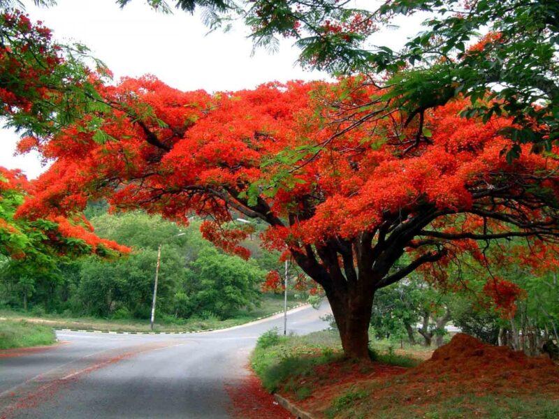 hình ảnh cây phượng đẹp