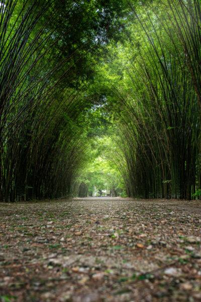 hình ảnh cây phượng - lũy tre xanh