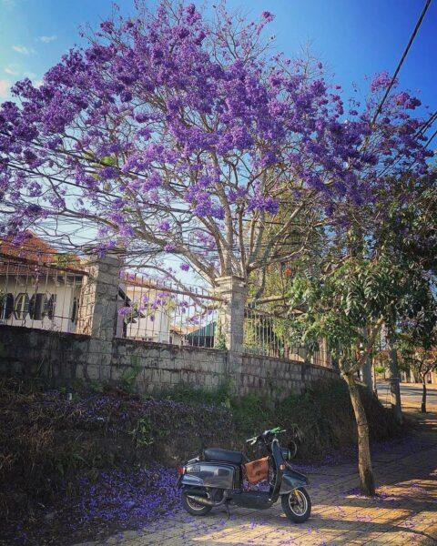 hình ảnh cây phượng màu tím