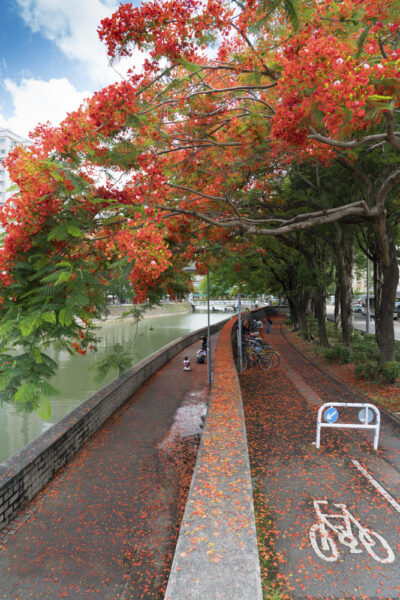 hình ảnh cây phượng nở hoa đỏ rực