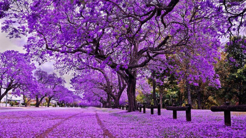 hình ảnh cây phượng nở khắp một trời