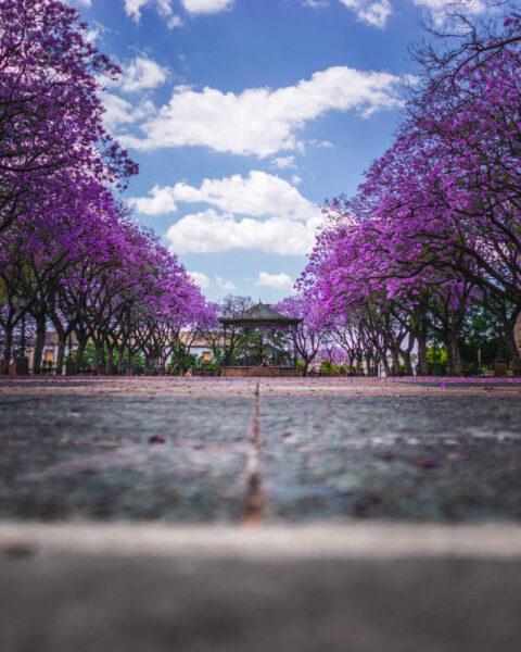 hình ảnh cây phượng tím đẹp