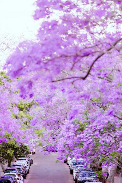 hình ảnh cây phượng tím trong khu đô thị