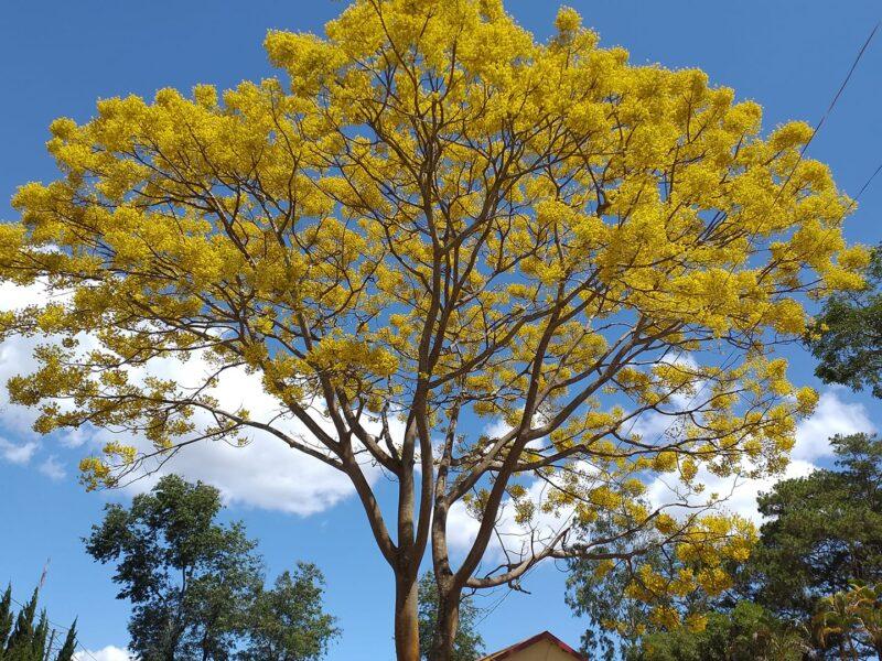 hình ảnh cây phượng vàng