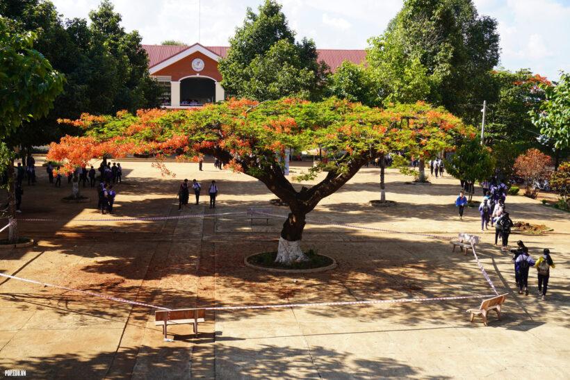 hình ảnh cây phượng vĩ ở giữa sân trường