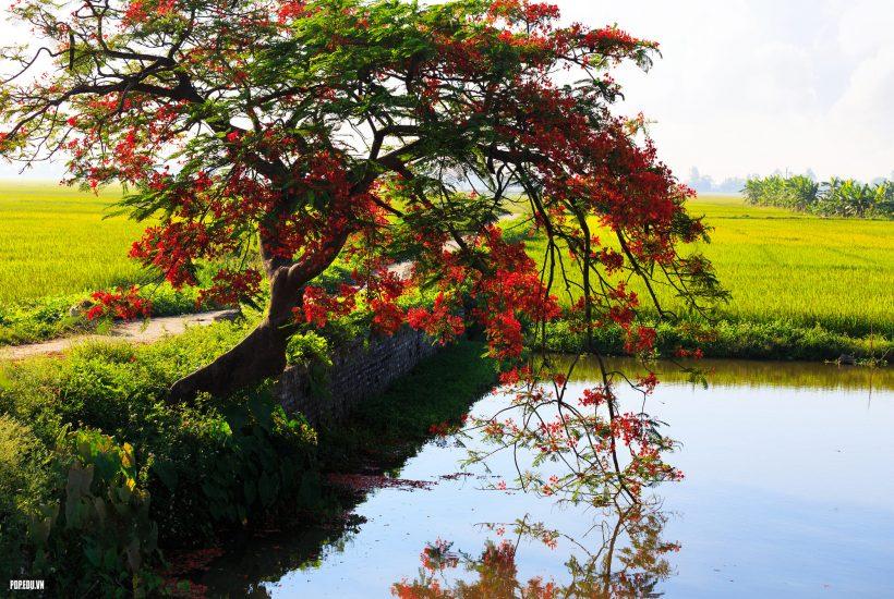 hình ảnh cây phượng vĩ trên con đường ruộng ở miền quê việt nam