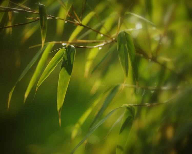 hình ảnh cây tre chất lượng