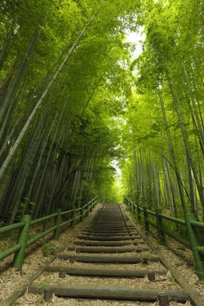 hình ảnh cây tre - con đường trong rừng tre