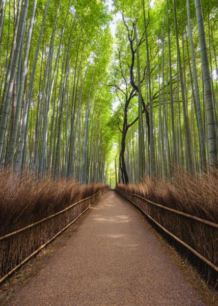 hình ảnh cây tre - rừng tre Sagano