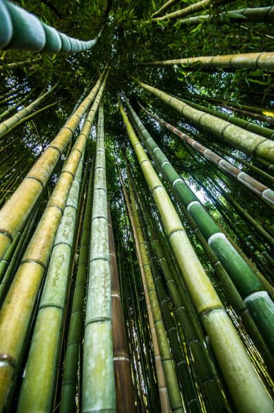 hình ảnh cây tre - thân tre cao chót vót