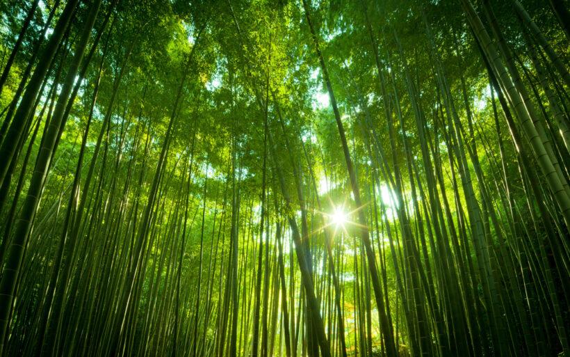 hình ảnh cây tre trong rừng tre
