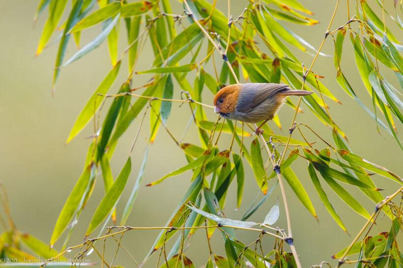 hình ảnh cây tre việt nam và chú chim