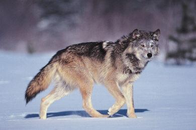 Hình ảnh chó sói và tuyết