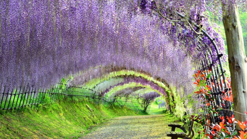 Hình ảnh con đường hoa tử đằng đẹp như mê cung