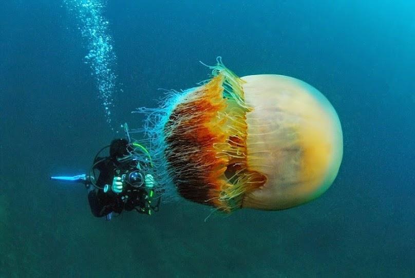 Hình ảnh con sứa khổng lồ