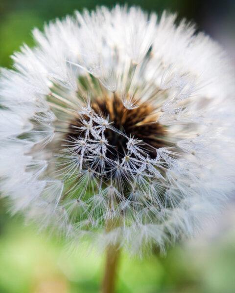 Hình ảnh đại diện hoa bồ công anh