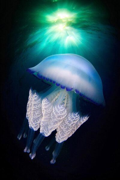 Hình ảnh đẹp về con sứa