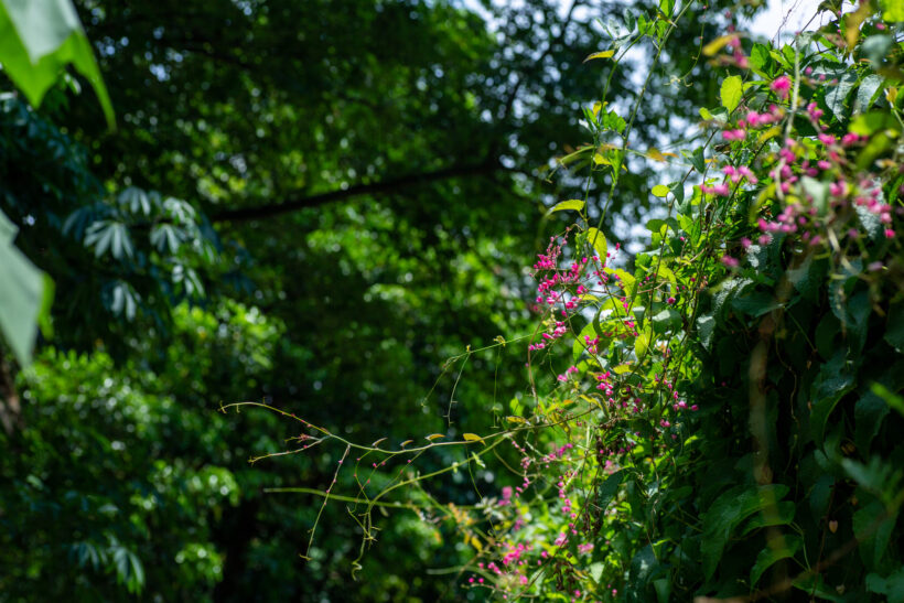 Hình ảnh giàn hoa tigon cực đẹp