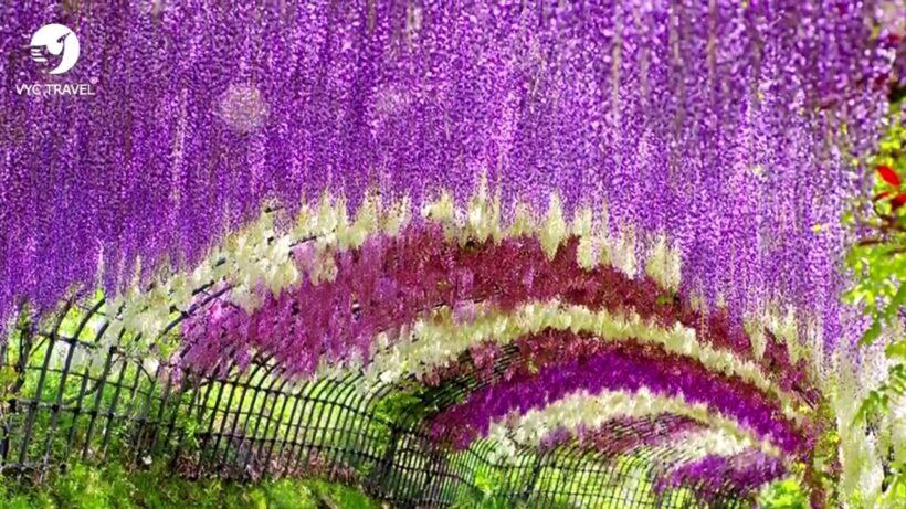 Hình ảnh giàn hoa tử đằng với nhiều màu sắc đẹp