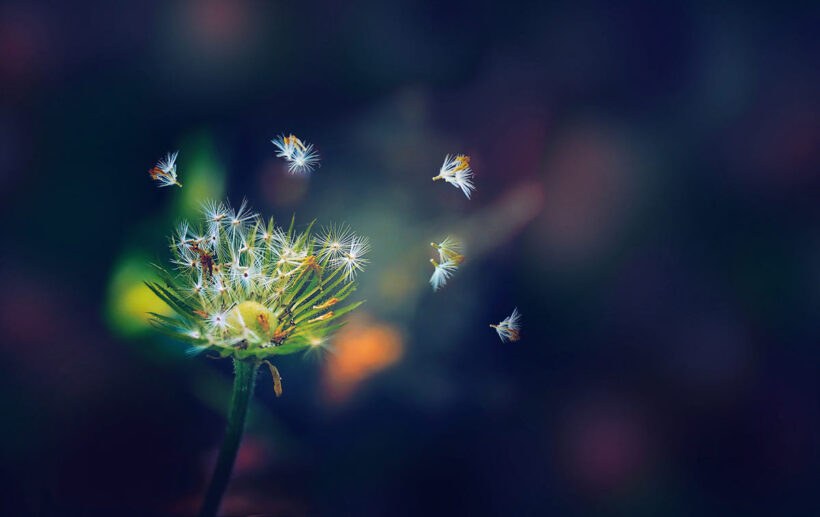 hình ảnh hoa bồ công anh đẹp nhất
