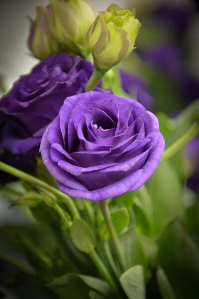 hình ảnh hoa hồng tím đẹp cho iphone