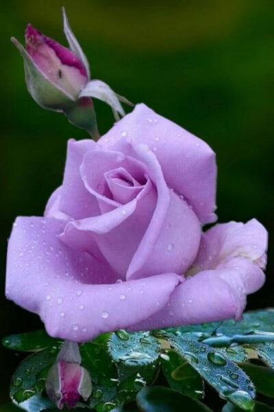 Hình ảnh hoa hồng tím nở