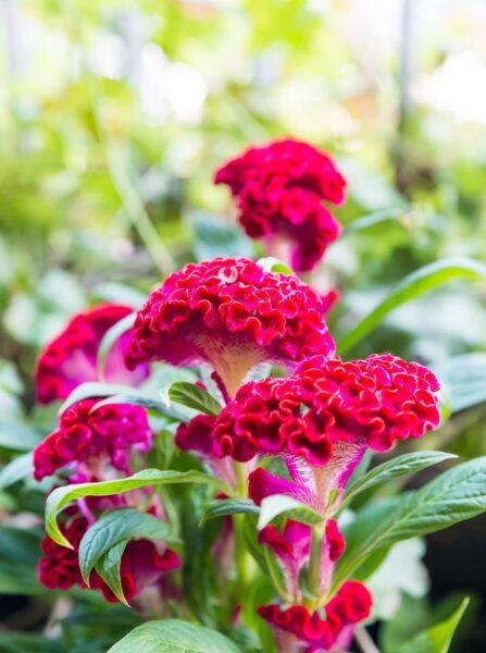 Hình ảnh hoa mào gà đỏ rực rỡ