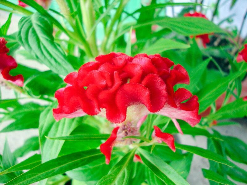 Hình ảnh hoa mào gà đỏ tươi