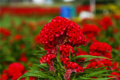 Hình ảnh hoa mào gà đỏ tươi đẹp tuyệt