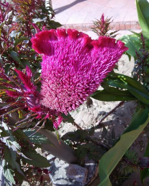 Hình ảnh hoa mào gà khoe sắc dưới nắng