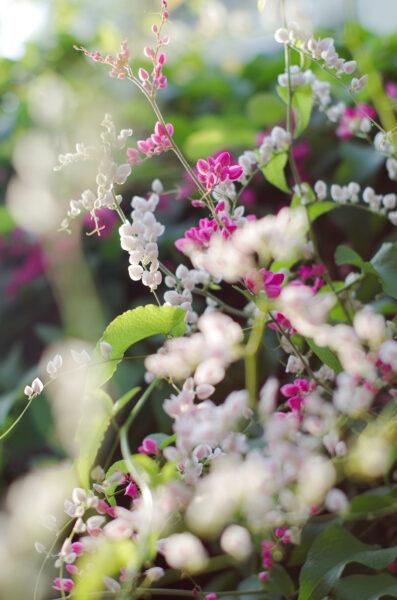 Hình ảnh hoa tigon
