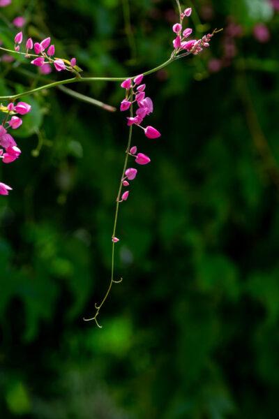 Hình ảnh hoa tigon đẹp, dễ thương