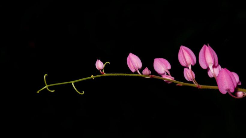 Hình ảnh hoa tigon đẹp trên nền đen