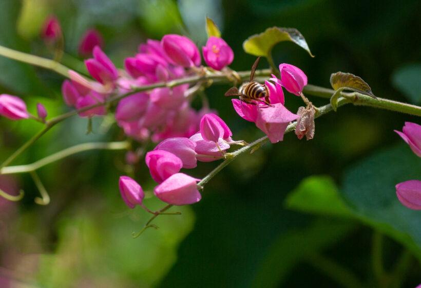 Hình ảnh hoa tigon và chú ong mật