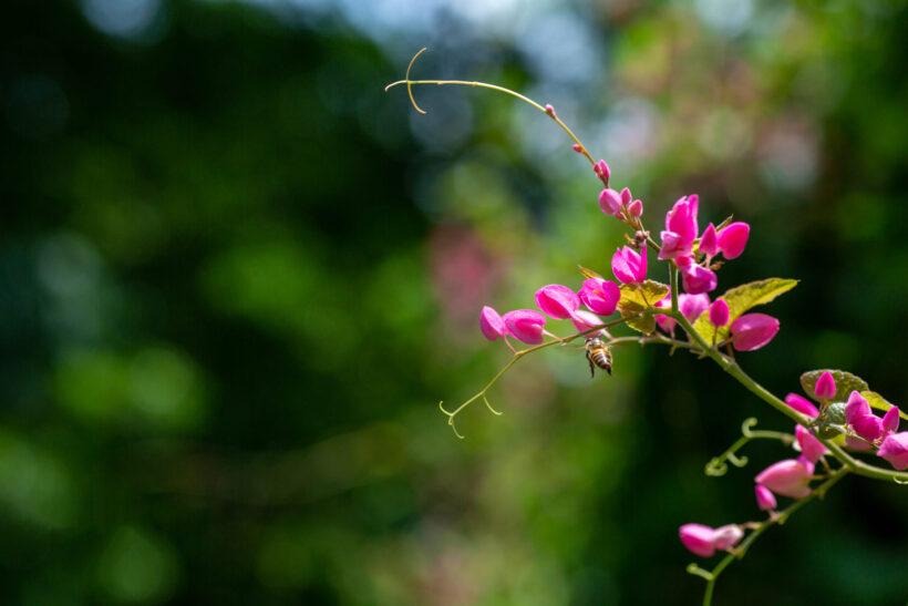 Hình ảnh hoa tigon và những chú ong