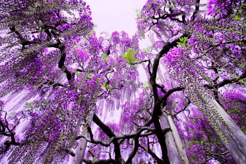Hình ảnh hoa tử đằng đẹp lung linh