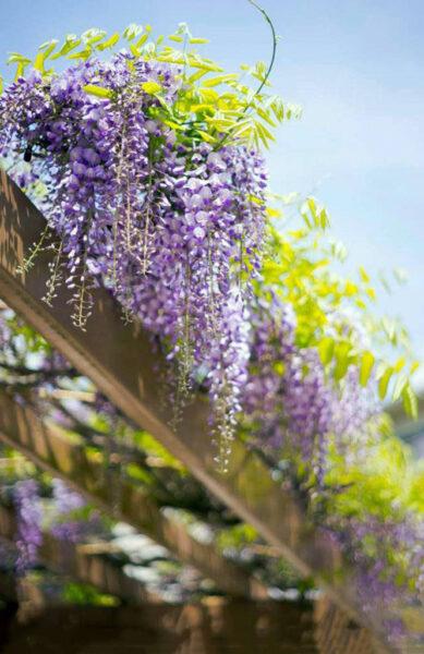 Hình ảnh hoa tử đằng đẹp mê ly