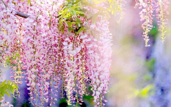 Hình ảnh hoa tử đằng màu hồng đẹp