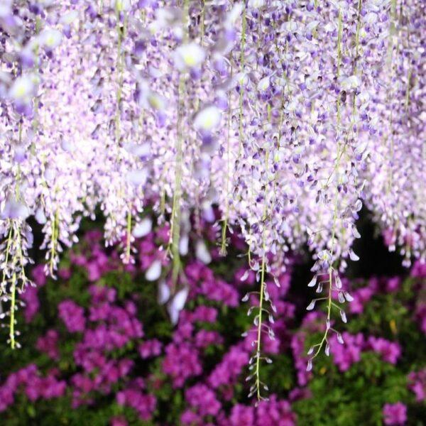 Hình ảnh hoa tử đằng ở Nhật đẹp