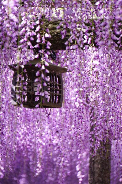 Hình ảnh hoa tử đằng tím hồng cực đẹp