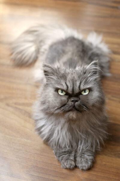 hình ảnh mèo Ba Tư hung dữ trên sàn nhà