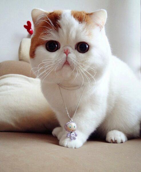hình ảnh mèo Munchkin đáng yêu và cute nhất