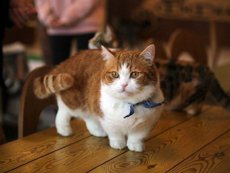 hình ảnh mèo munchkin lai Anh lông ngắn