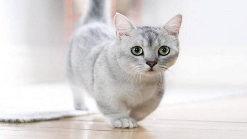 hình ảnh mèo Munchkin lông xám đáng yêu