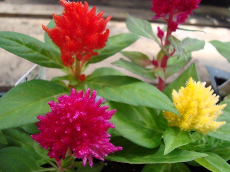 Hình ảnh những bông hoa mào gà đỏ, hồng, vàng