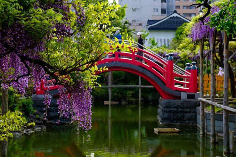 Hình ảnh những chùm hoa tử đằng đẹp bên cạnh cây cầu màu đỏ - Copy