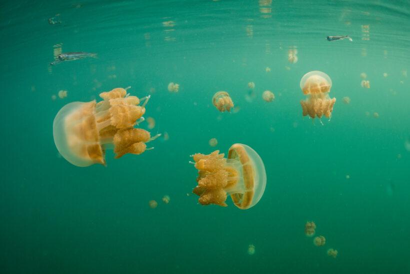 hình ảnh những con sứa